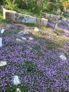 ☆ 安芸グラのガーデンが一面薄紫 ☆